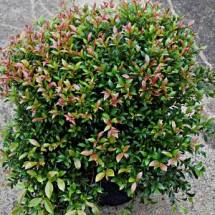 Syzygium australe 'Bush Christmas' - Lilly Pilly