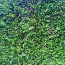 Cupressocyparis leylandii 'Leighton Green' - Conifer