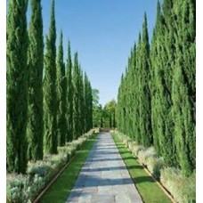Cupressus sempervirens 'Nitschkes Needles' - Pencil Pine Conifer