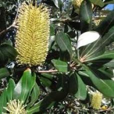 Banksia integrifolia - Coastal Banksia