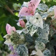 Trachelospermum 'Tricolor' - Tricolor
