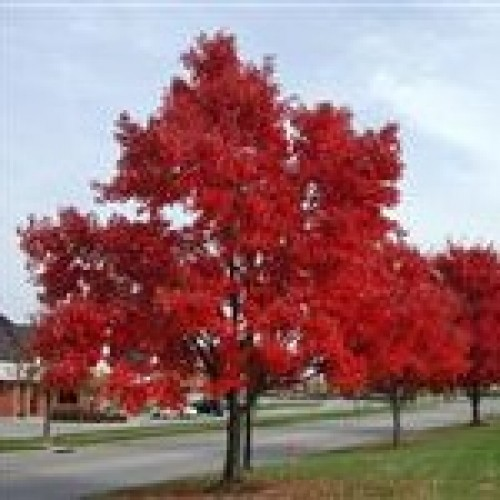 Acer rubrum 'October Glory' - Lipstick Maple, Canadian Maple