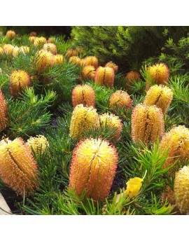 Banksia spinulosa 'Birthday Candles' - Dwarf hairpin