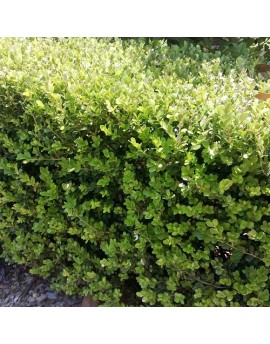Buxus microphylla var japonica - Japanese Box