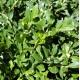 Buxus microphylla var.microphylla - Korean Box