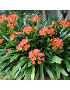 Clivia minaita - Kaffir Lily, bush Lily, Clivia