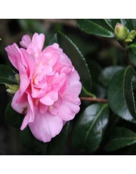 Camellia sasanqua 'Jennifer Susan' - Camellia