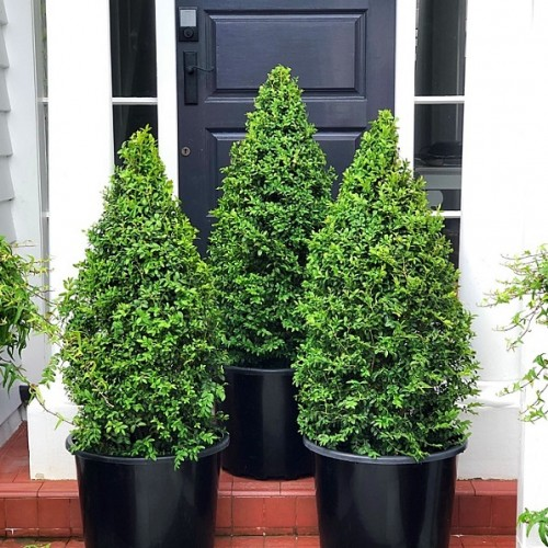 Topiary, Cones, Balls, Spirals - Specialty Designer Shaped Trees