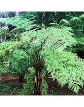 Cyathea cooperi - Australian Tree Fern, Lacy Tree Fern