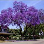 Jacaranda mimosifolia - Jacaranda