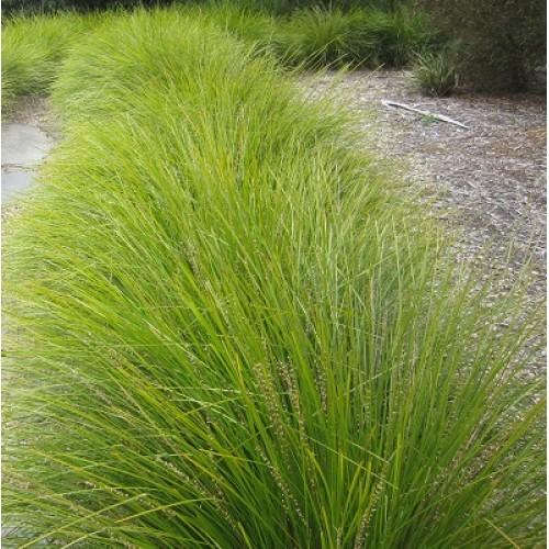 Lomandra longifolia 'Tanika'