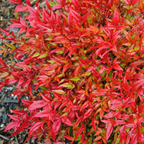Nandina domestica 'Moon Bay'