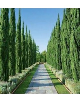 Cupressus sempervirens 'Nitschkes Needles' - Pencil Pine Conifer