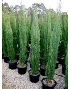Juniperus Skyrocket - Pencil Pine