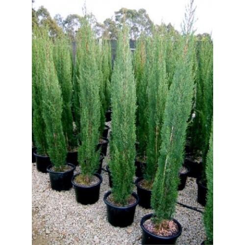 Juniperus Skyrocket - Pencil Pine