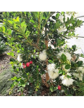 Syzygium australe 'Resilience' - Lilly Pilly
