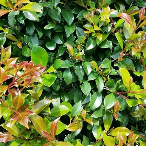 Syzygium australe 'Select' - Lilly Pilly