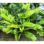 Zamia furfuracea - Cardboard Palm, Cardboard Cycad