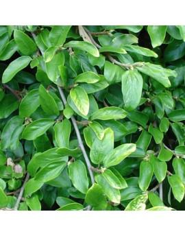 Ficus pumila  -  Creeping Fig Vine