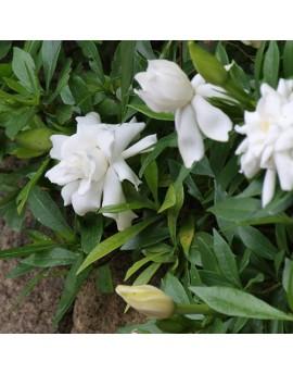 Gardenia augusta 'Radicans' - Gardenia