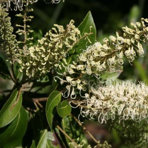 Buckinghamia celsissima - Ivory Curl Tree