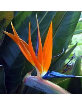 Strelitzia reginae - Bird of Paradise