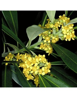 Tristaniopsis laurina - Water Gum/Kanuka Box